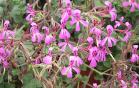 Pelargonium2